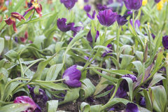Fresh purple tulips. In the field Stock Photography