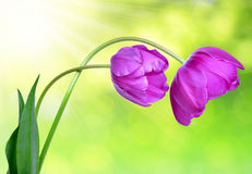 Fresh purple tulips. On green background Stock Images