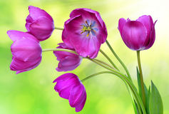 Fresh purple tulips. On green background Royalty Free Stock Photo
