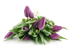 Fresh purple tulips isolated on white. Background Royalty Free Stock Photo