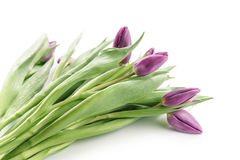 Fresh purple tulips isolated on white Royalty Free Stock Images