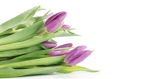 Fresh purple tulips isolated on white background Stock Photos