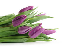 Fresh purple tulips isolated on white background. With copy space Stock Photo
