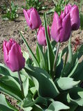 Fresh purple tulips outdoor. Fresh purple tulips in the garden in sunny spring day Stock Photography