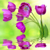 Fresh purple tulips. Reflected on the surface of the water Royalty Free Stock Image