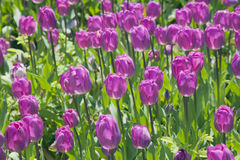 Fresh purple tulips Royalty Free Stock Photos