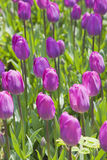 Fresh purple tulips. In a spring park Istambul Royalty Free Stock Photos