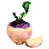Fresh purple turnip with slice, vegetable isolated, watercolor illustration on white vector illustration
