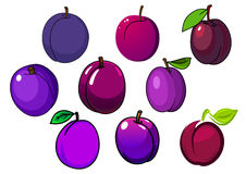Fresh  purple and violet plum fruits Stock Image