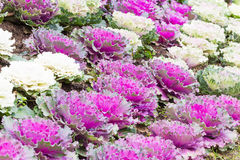 Fresh purple and white cabbage (brassica oleracea) plant leaves. Ornamental decorative cabbage Stock Photos