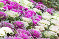 Fresh purple and white cabbage (brassica oleracea) plant leaves. Ornamental decorative cabbage Royalty Free Stock Image