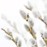 Fresh pussy willow flowers in spring Royalty Free Stock Image