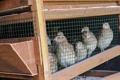 Fresh quail in cages ,quail farm