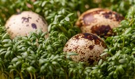 Quail eggs and green cress. Fresh quail eggs and green cress. Perfect for slimming royalty free stock photography