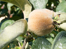 Fresh quince on a branch. Fresh fluffy quince on a branch Royalty Free Stock Images