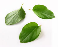 Fresh quince leaf isolated white background Royalty Free Stock Images