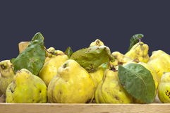 Fresh quinces. In a crate Stock Images