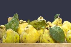 Fresh quinces Stock Images
