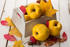 Fresh quinces. In box on white table. Selective focus. Rustic style Royalty Free Stock Photography