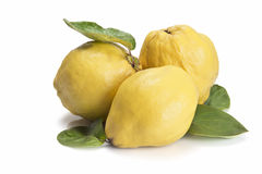 Fresh quinces  over white background. Premium fresh quinces freshly harvested to cook Stock Photos