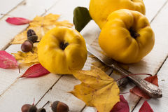Fresh quinces. On white table. Selective focus. Rustic style Royalty Free Stock Image