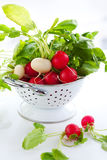 Fresh radish. Fresh red and white radish Stock Image