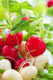 Fresh radish Royalty Free Stock Photo