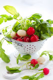 Fresh radish. Fresh red and white radish Royalty Free Stock Photography