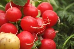 Fresh radish Royalty Free Stock Photos