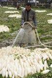 Fresh radish and farmers. Farmers gather in their fresh radish Royalty Free Stock Photography