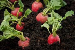 Fresh radish field. Self grown fresh radishes in the field Stock Photos