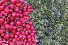 Fresh radish and foliage. Image of background fresh radish and foliage Royalty Free Stock Images