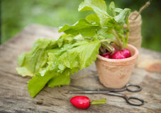 Fresh radish. In the garden Royalty Free Stock Image