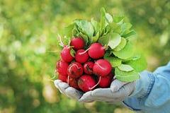 Fresh radish. From garden in female hands Royalty Free Stock Photos