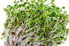 Macro shot garden cress in front of white background. Fresh radish-germination is prepared for salad. Healthy vegetarian food. Fresh herbs Royalty Free Stock Photos