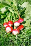 Fresh radish on the green grass. Fresh radish fruits with leaves on the green grass Stock Photography