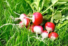 Fresh radish on the green grass. Fresh radish fruits with leaves on the green grass Royalty Free Stock Photo