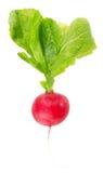 Fresh radish isolated on a white background.  Royalty Free Stock Photography