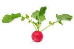 Fresh radish isolated on white background. Fresh radish with leaves isolated on white background Royalty Free Stock Photos