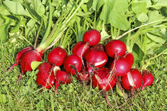 Fresh radish with leaves. Close-up Stock Image