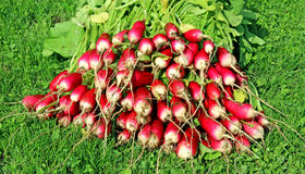 Fresh radish with leaves. Closeup Royalty Free Stock Images