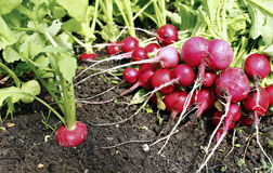 Fresh radish with leaves. Red radishes growing in the garden Royalty Free Stock Photo