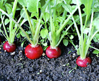 Fresh radish with leaves. Red radishes growing in the garden Stock Photos