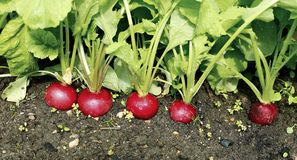 Fresh radish with leaves. Red radishes growing in the garden Royalty Free Stock Image