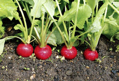 Fresh radish with leaves. Red radishes growing in the garden Stock Images