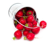 Fresh radish in a metal bucket. Fresh radish in a bucket isolated on white background Royalty Free Stock Image