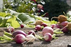 Fresh radish. Fresh multi-coloured radish on old wooden table Royalty Free Stock Photos