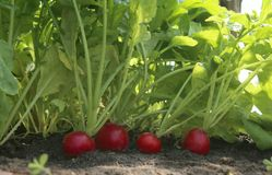 Organic red radish growing on soil in greenhouse. Fresh radish from own garden Royalty Free Stock Photos