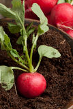 Fresh radish in soil. And bunch of fresh radishes Royalty Free Stock Photos