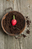 Fresh radish in soil. On old wooden backgroung Stock Photo